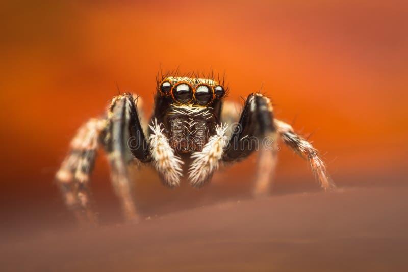 五颜六色的跳的蜘蛛 免版税库存照片