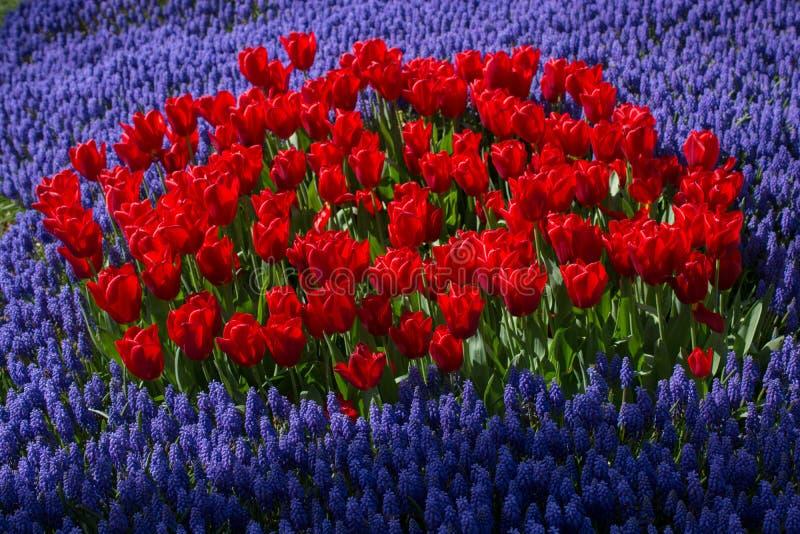 五颜六色的郁金香在庭院里开花绽放 库存图片
