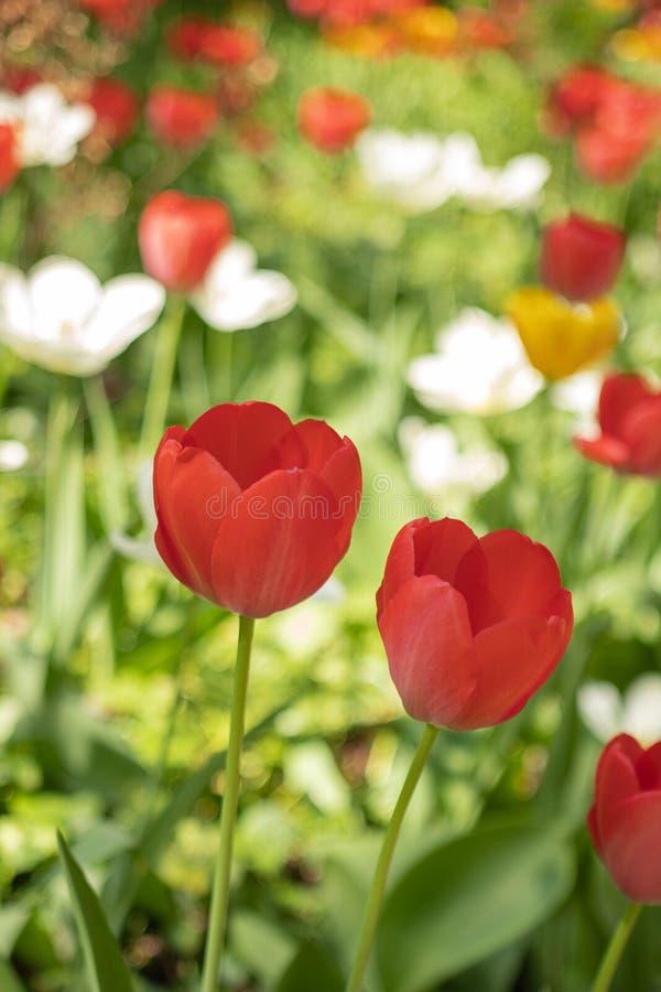 五颜六色的郁金香在春天 免版税图库摄影