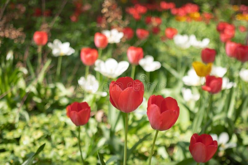 五颜六色的郁金香在春天 免版税库存图片