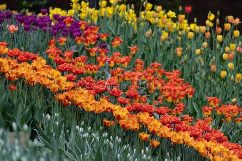 五颜六色的郁金香在春天 库存图片