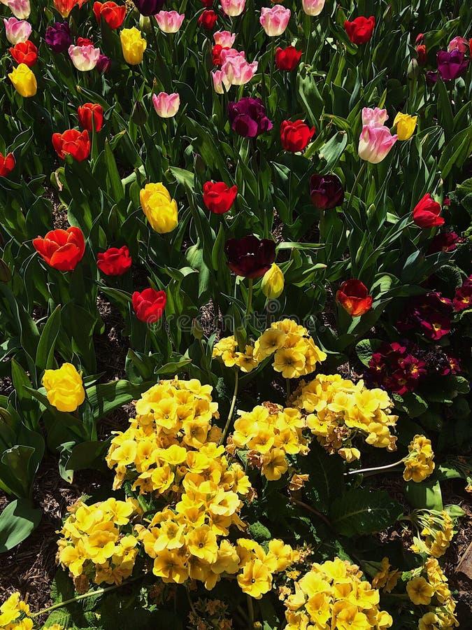五颜六色的郁金香花园 免版税库存图片