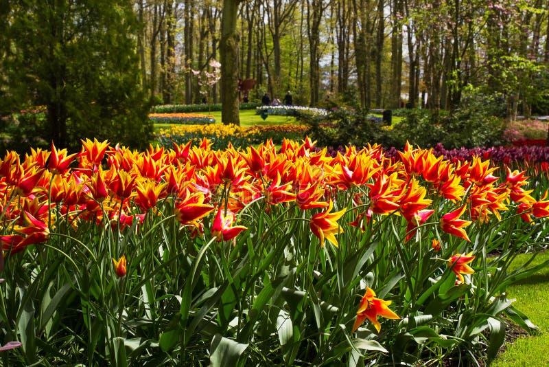 五颜六色的郁金香花在春天公园 花风景 免版税库存照片