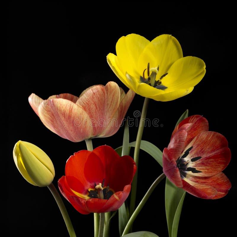 五颜六色的郁金香花 免版税库存照片