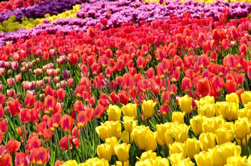五颜六色的郁金香 免版税库存图片