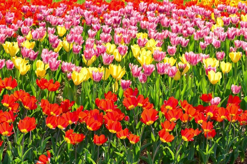 五颜六色的郁金香 库存图片