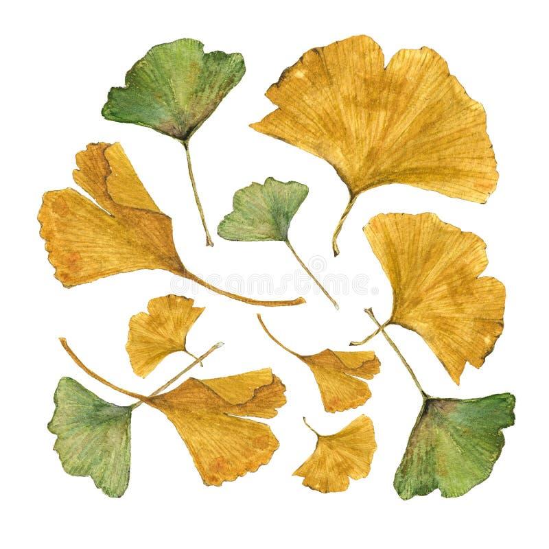 五颜六色的银杏树的植物的水彩例证在白色背景离开 向量例证