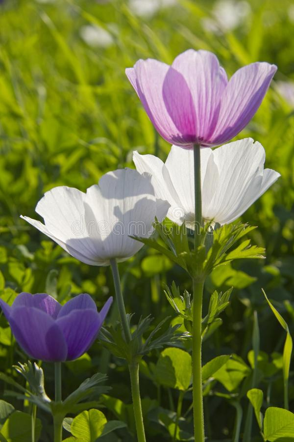 五颜六色的银莲花属花在春天领域 免版税图库摄影