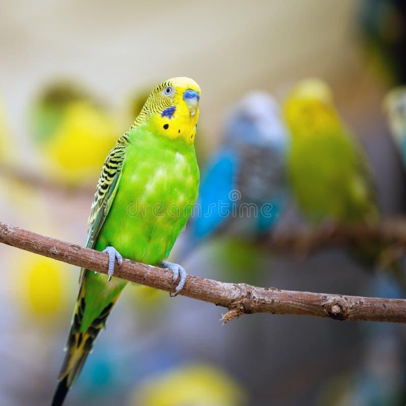 五颜六色的长尾小鹦鹉 免版税库存照片