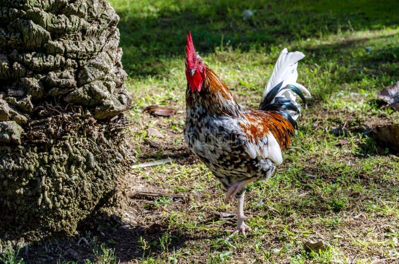 五颜六色的雄鸡 免版税库存照片