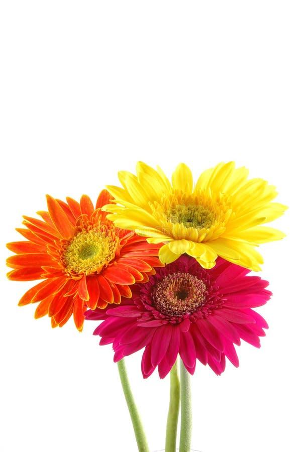 五颜六色的雏菊gerber 图库摄影