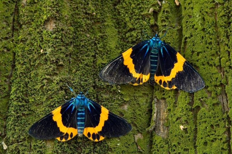 五颜六色的飞蛾 免版税库存照片