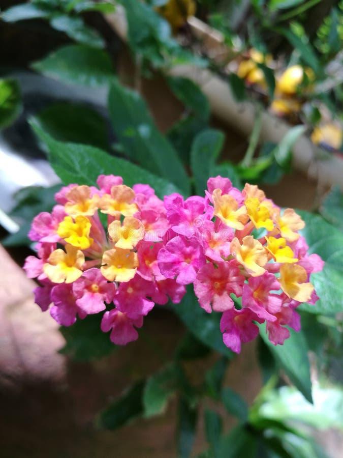 五颜六色的马樱丹属特写镜头 库存图片