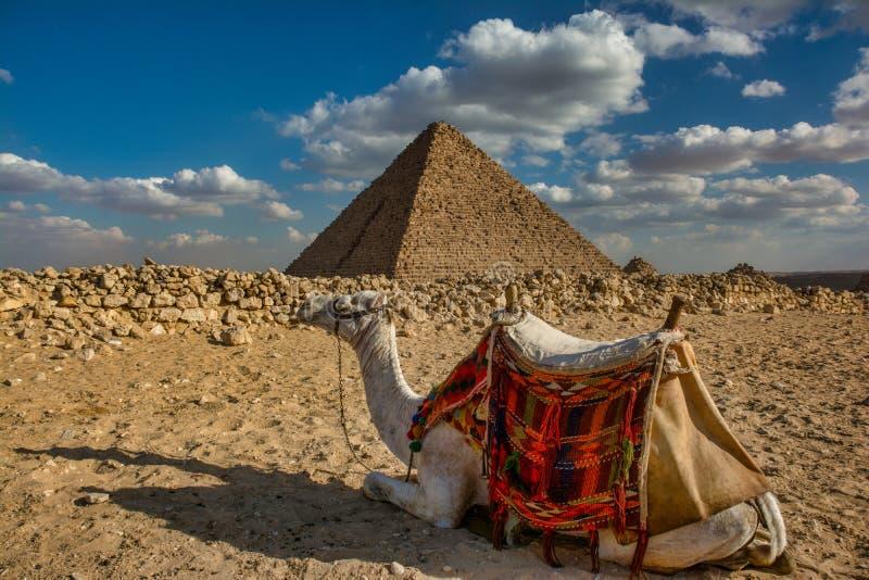 五颜六色的骆驼有金字塔背景 库存图片