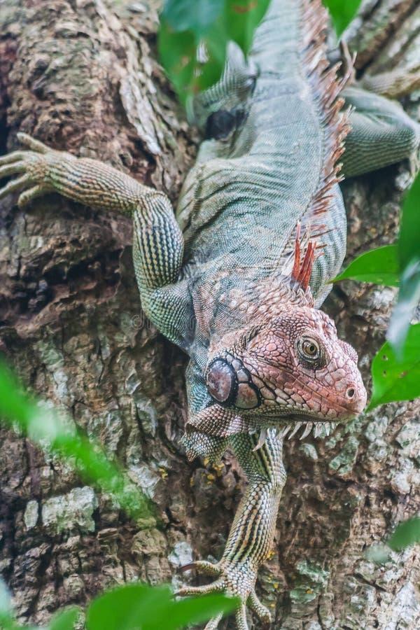 五颜六色的鬣鳞蜥 库存照片