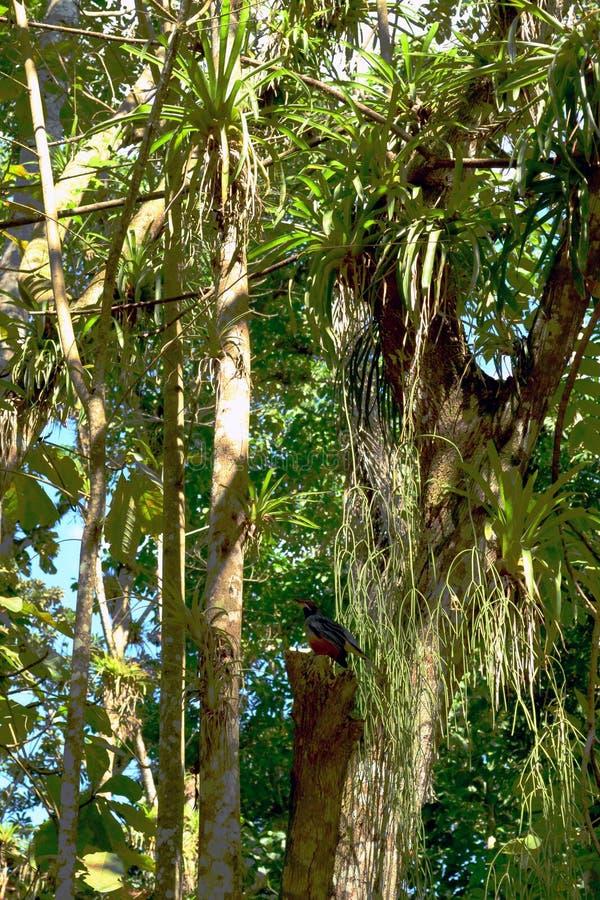 五颜六色的鸟在一个绿色森林El Nicho &#x28里;Cienfuegos)古巴 免版税库存图片