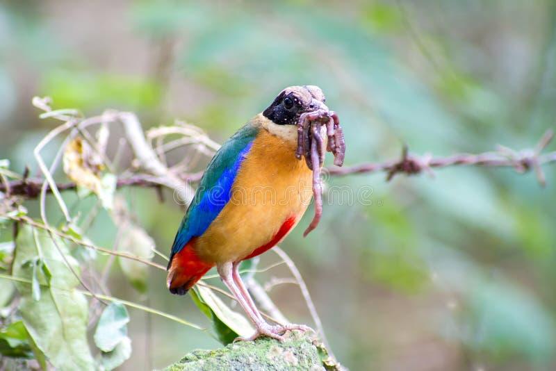 五颜六色的鸟& x28; 蓝色飞过的pitta& x29;吃蚯蚓在森林里 免版税库存图片