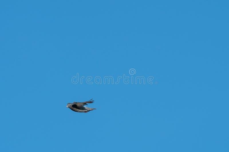 五颜六色的鸠,飞行的鸽子在阳光下 免版税库存图片