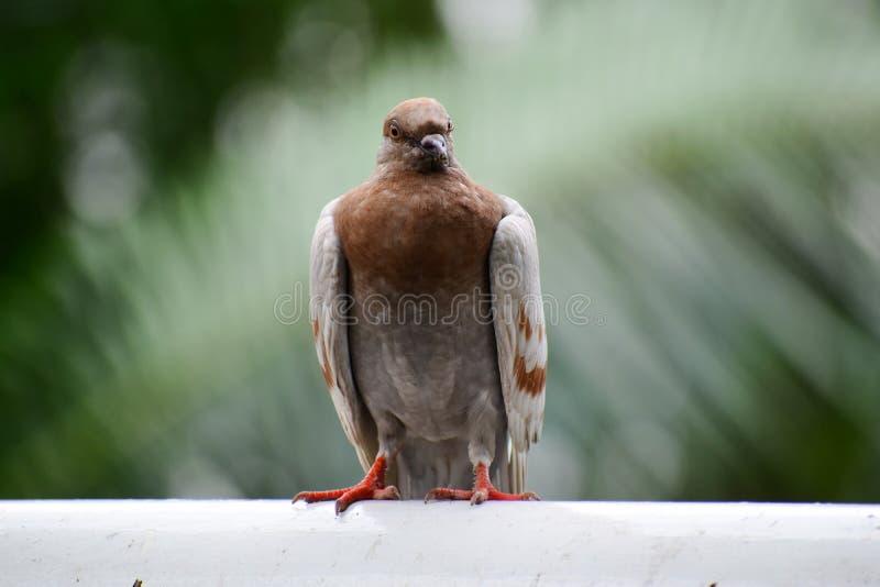 五颜六色的鸽子有特别形状 库存图片