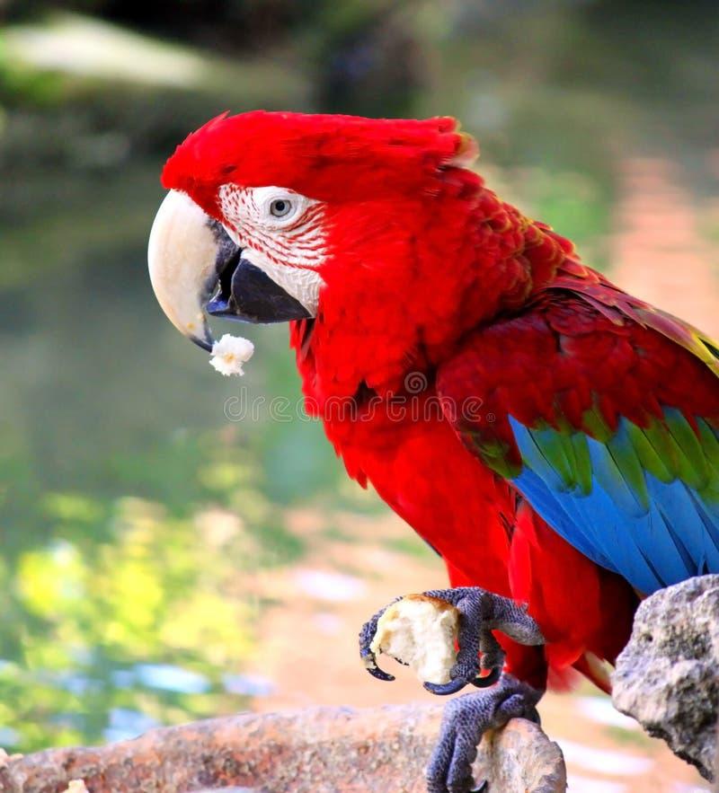 Download 五颜六色的鹦鹉。 库存照片. 图片 包括有 双翼飞机, 异乎寻常, 回归线, 栖息处, 烧杯, 春天, 公园 - 30335126