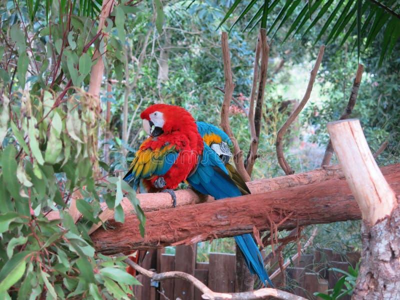 五颜六色的鹦鹉在森林里 库存照片