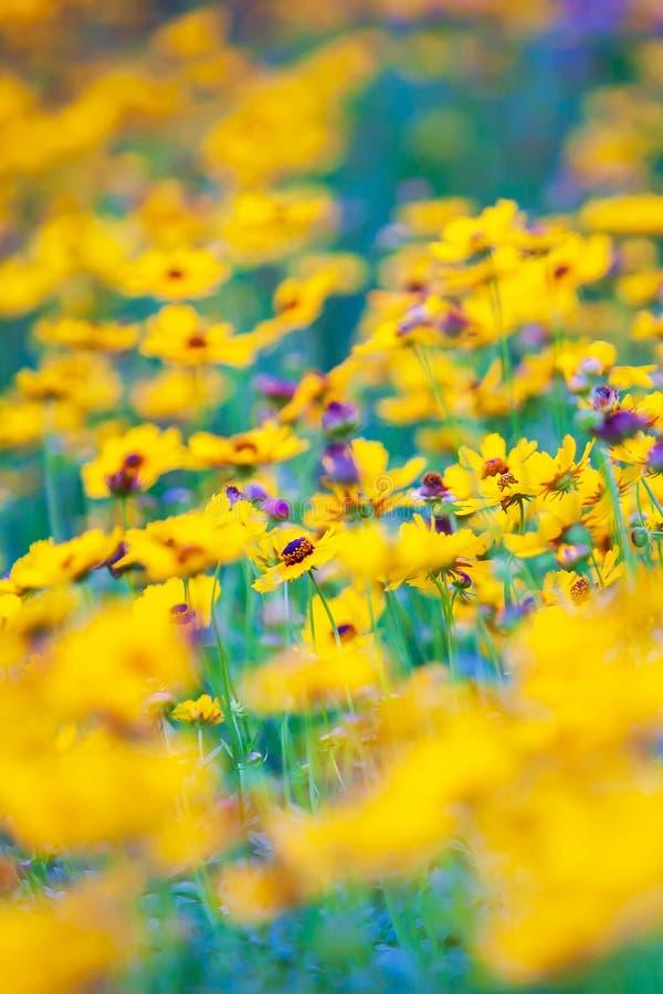 五颜六色的黄色和紫色硫磺波斯菊花在绽放春天 免版税库存照片