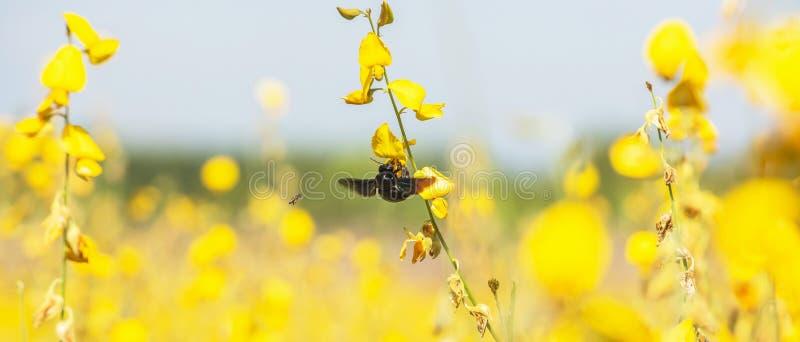 五颜六色的黄色花田在明亮的阳光下 Sunn大麻花在绽放、土蜂和蜂飞行,当收集时 免版税库存图片