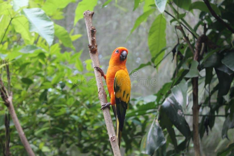 五颜六色的黄色鹦鹉,太阳Conure Aratinga solstitialis,站立在分支,乳房外形 背景鸟 免版税图库摄影