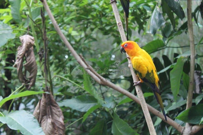 五颜六色的黄色鹦鹉,太阳Conure Aratinga solstitialis,站立在分支,乳房外形 背景鸟 图库摄影