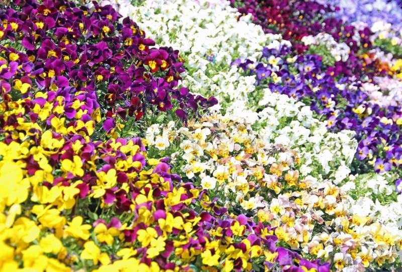 五颜六色的蝴蝶花中提琴 免版税库存图片