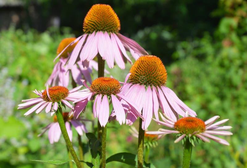 五颜六色的coneflower或紫色海胆亚目在夏天蜂友好的花床上 免版税库存照片
