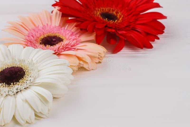 五颜六色的gerber雏菊花关闭  免版税图库摄影