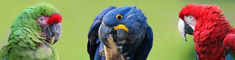 五颜六色的Macaws群 库存图片