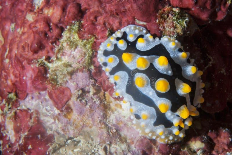 五颜六色的Nudibranch画象 图库摄影