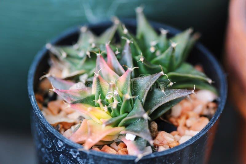 五颜六色的Obregonia denegrii variegata仙人掌 免版税库存照片