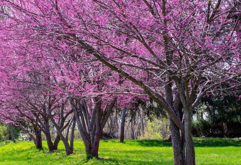 五颜六色的redbud树行  图库摄影