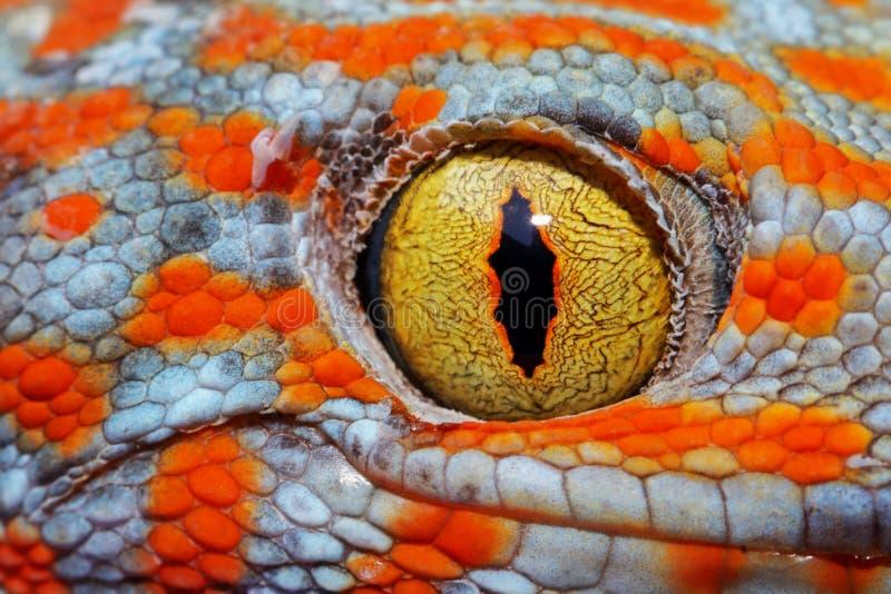 五颜六色的Toke ` s壁虎惊人的眼睛宏指令 库存照片