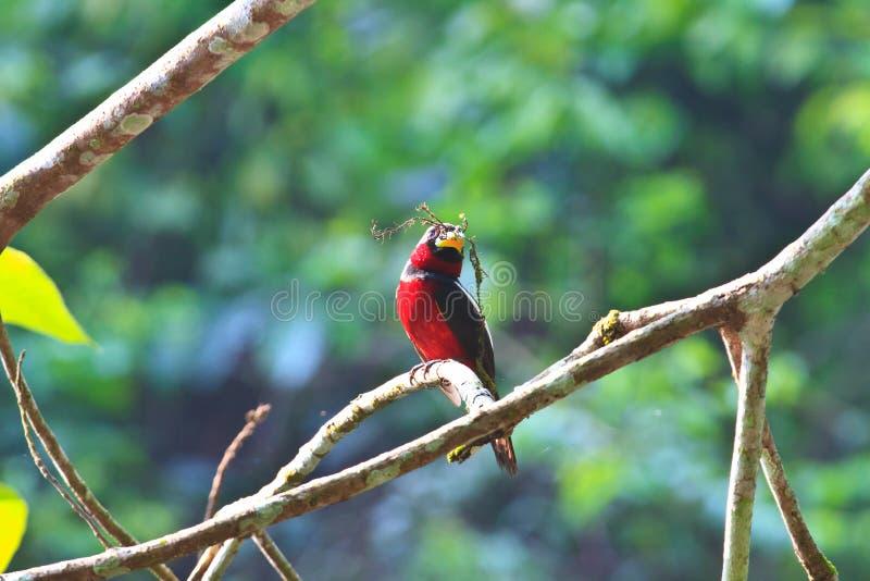 五颜六色黑和红色鸟 免版税库存照片