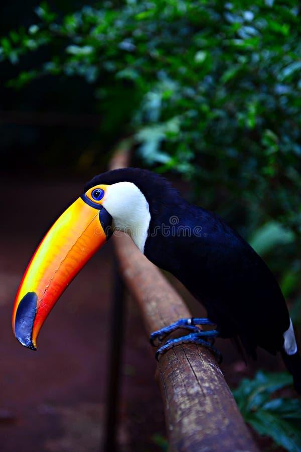 五颜六色toucan在伊瓜苏瀑布 免版税图库摄影