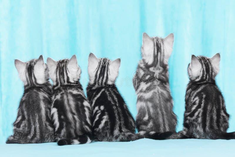五从后面的逗人喜爱的小猫 图库摄影