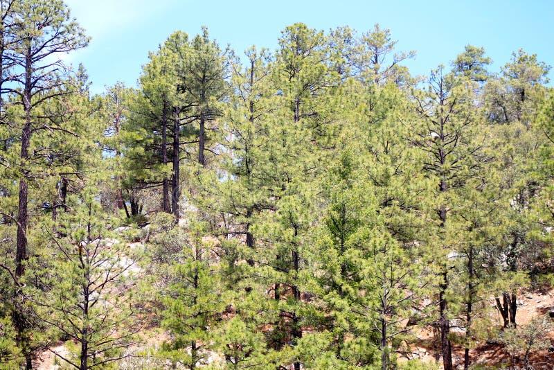 亚利桑那山森林 免版税库存照片