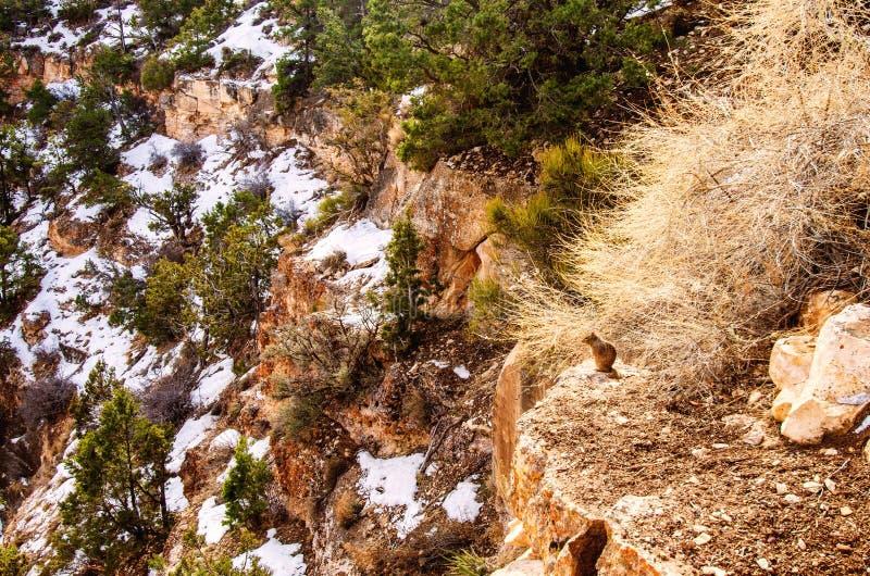 亚利桑那州南缘大峡谷冬天雪松鼠 库存照片