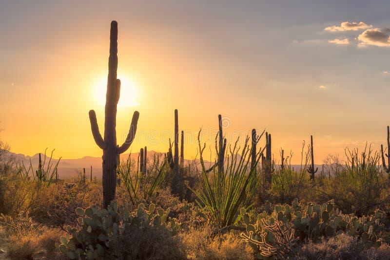 亚利桑那沙漠的日落视图有柱仙人掌的 免版税库存图片