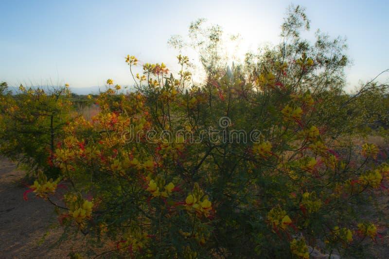 亚利桑那沙漠花灌木背景 免版税库存图片