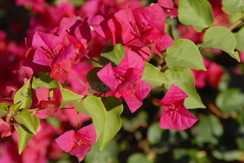 亚利桑那的花Antigonon leptopus '巴哈红色' -女王的亚利桑那开花 免版税图库摄影
