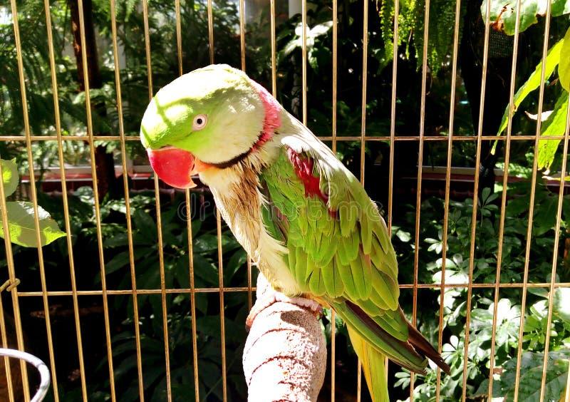 亚历山大诗行长尾小鹦鹉-大圈状或亚历山大大帝的鹦鹉在关起来的笼子坐 图库摄影