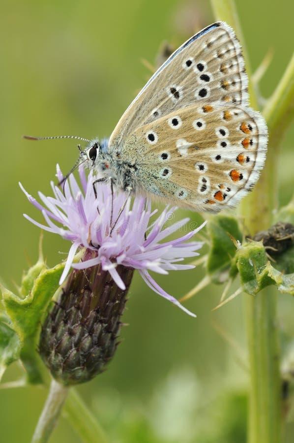 亚多尼斯蓝色蝴蝶下面 免版税库存图片