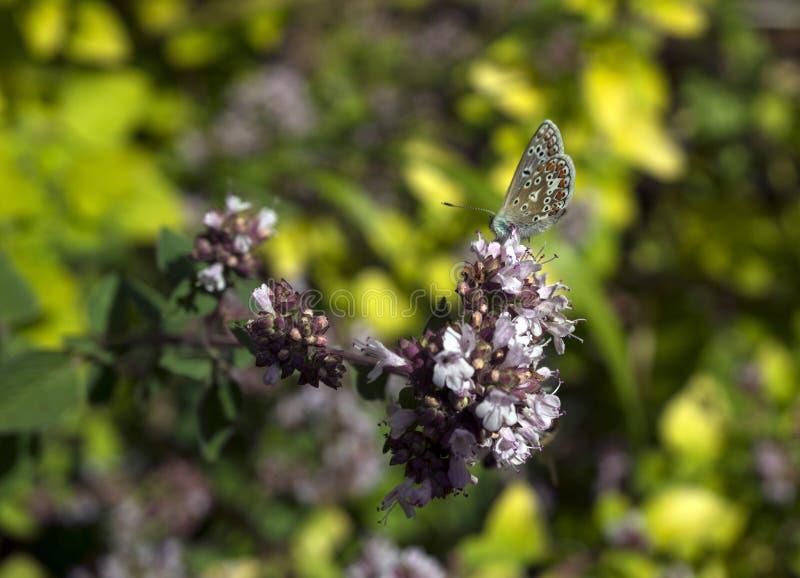 亚多尼斯蓝色蝴蝶Polyommatus bellargus特写镜头在牛至花牛至属植物vulgare的 库存图片