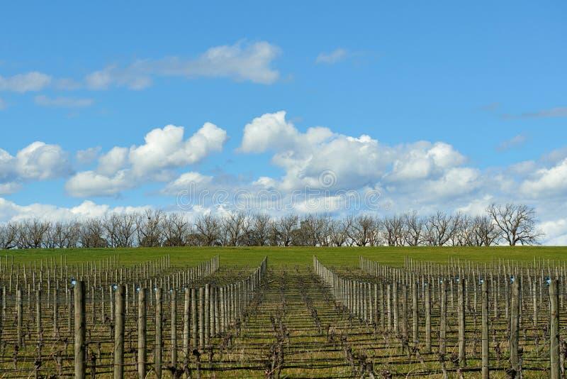 亚拉谷的早期的春天葡萄园,维多利亚,澳大利亚 休眠葡萄树将醒在蓝天和ge下 库存图片