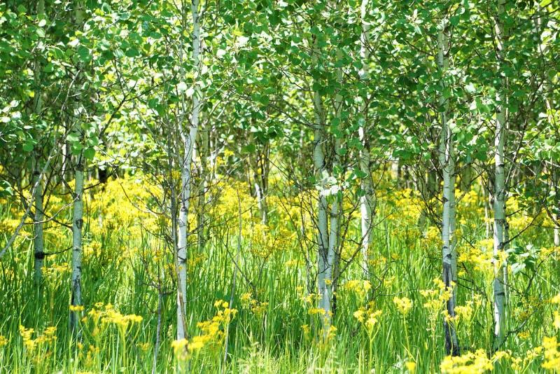 亚斯本树丛在一个草甸在冰川国家公园 库存图片